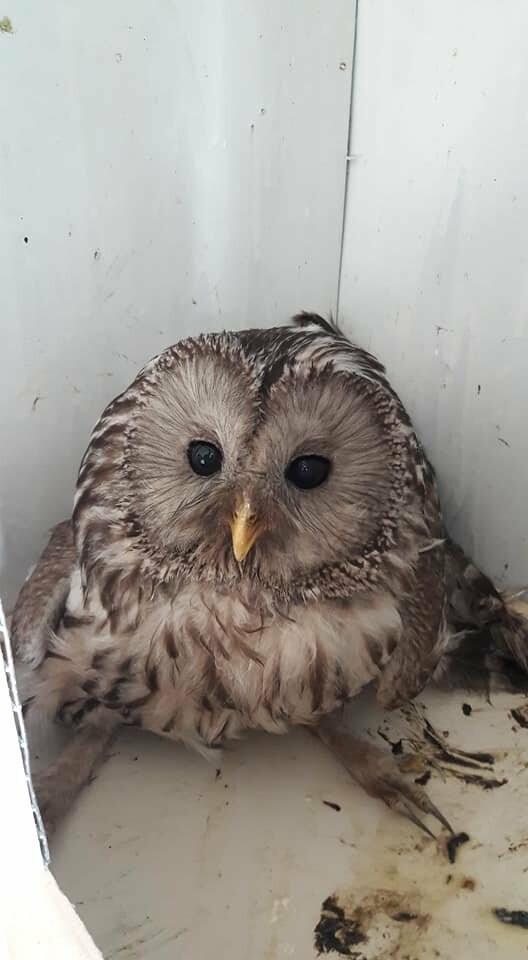 Стебничани врятували сову, що травмувалась біля школи, фото-2