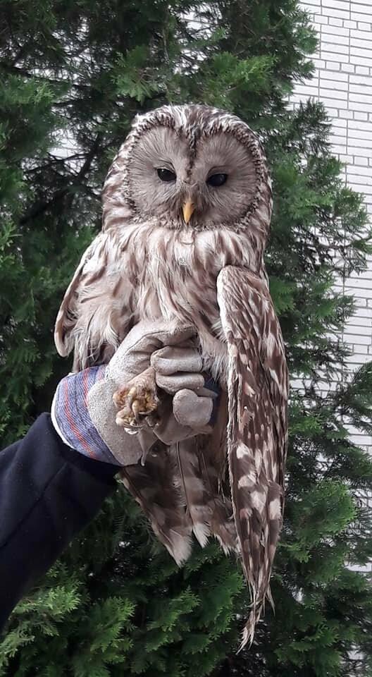 Стебничани врятували сову, що травмувалась біля школи, фото-4