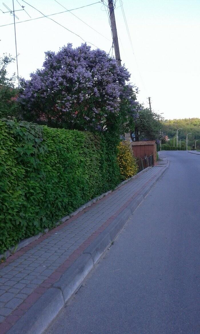 Живі паркани у Трускавці: чим вони особливі?, фото-9