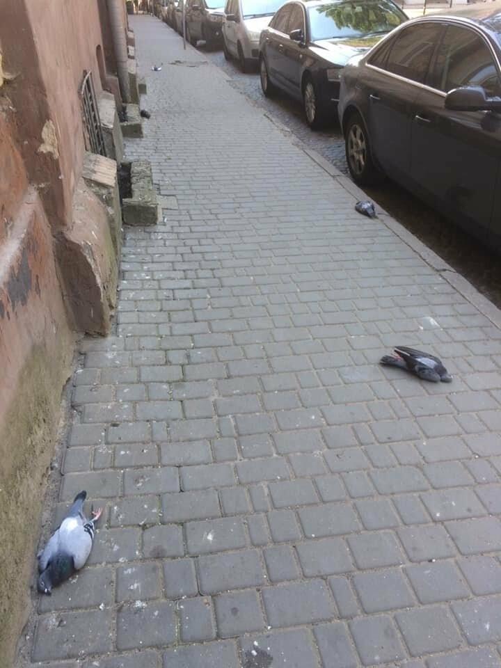 Центральні вулички Львова всіяні мертвими голубами, фото-1