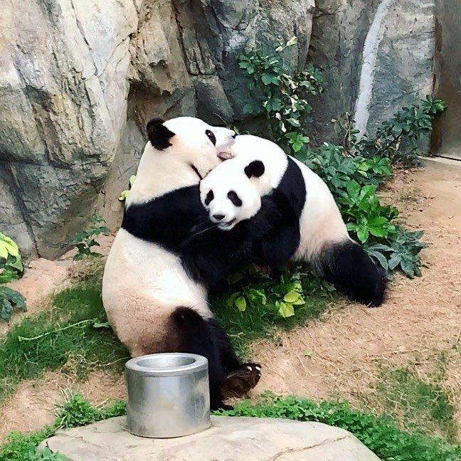 Карантин на користь: В Гонконгу вперше за 10 років спарились панди, фото-1