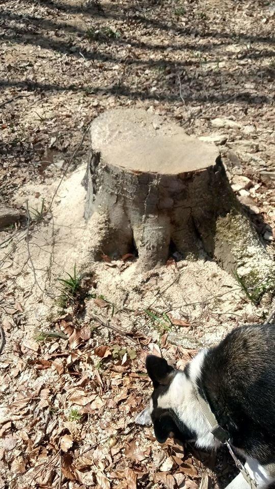 """У Трускавці в перший тиждень посиленого карантину в лісі активно рубають дерева , фото-3, Фото - Трускавецька ГО """"Мокрий Ніс"""""""