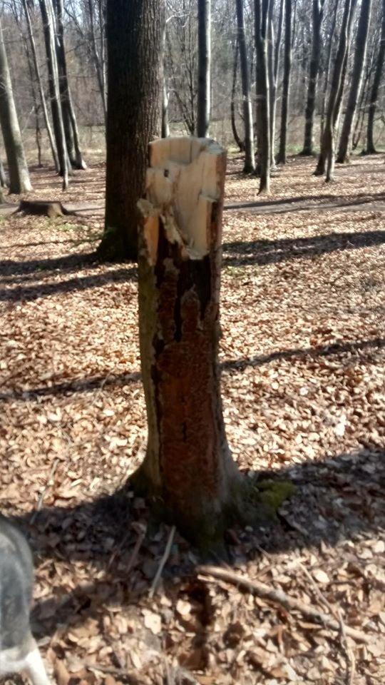 """У Трускавці в перший тиждень посиленого карантину в лісі активно рубають дерева , фото-5, Фото - Трускавецька ГО """"Мокрий Ніс"""""""