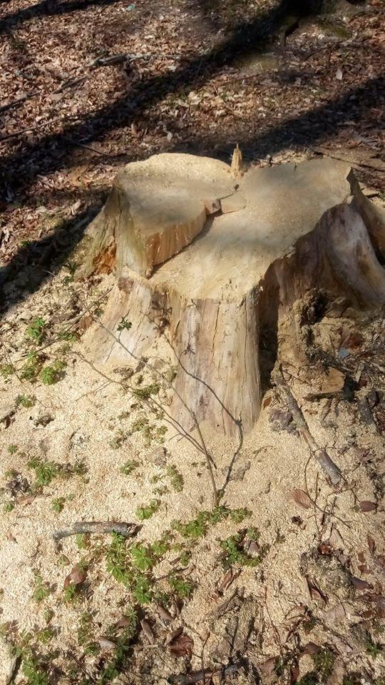 """У Трускавці в перший тиждень посиленого карантину в лісі активно рубають дерева , фото-8, Фото - Трускавецька ГО """"Мокрий Ніс"""""""
