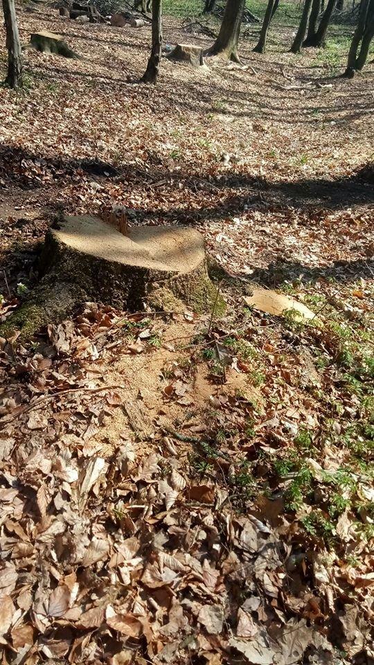 """У Трускавці в перший тиждень посиленого карантину в лісі активно рубають дерева , фото-6, Фото - Трускавецька ГО """"Мокрий Ніс"""""""