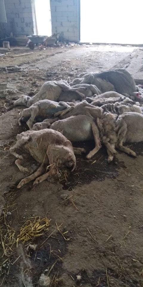 Морять голодом 850 овець. Закривають в ангарі без медичної допомоги та їжі, фото-1, фото - UAnimals